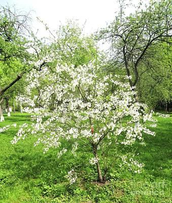 Photograph - Little Cherry Tree by Irina Afonskaya