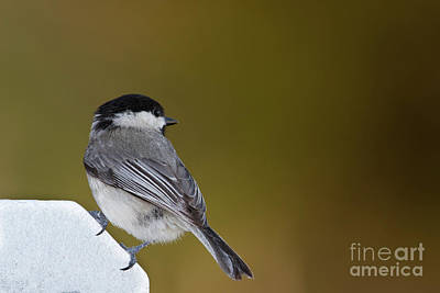 Photograph - Little Chickadee by David Cutts