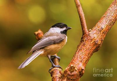 Photograph - Little Chickadee by Lena Auxier