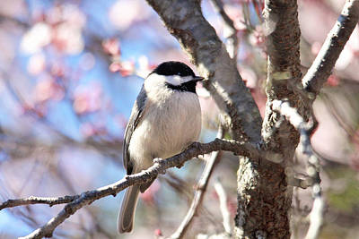 Photograph - Little Chickadee by Trina Ansel