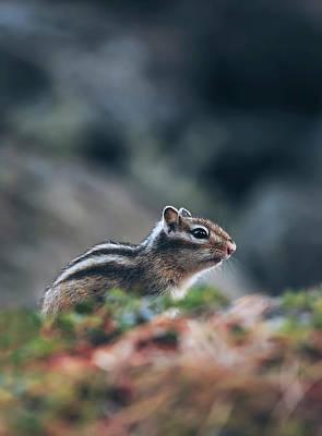 Chipmunk Photograph - Little Chipmunk by Oksana Ariskina