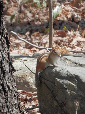 Photograph - Little Chippy by Heather Sylvia