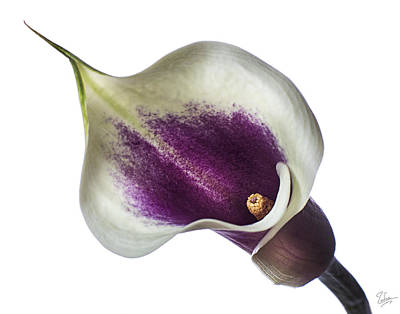 Photograph - Little Colored Calla Lily by Endre Balogh