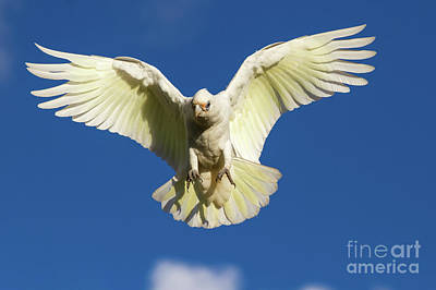 Photograph - Little Corella Descending by Howard Ferrier