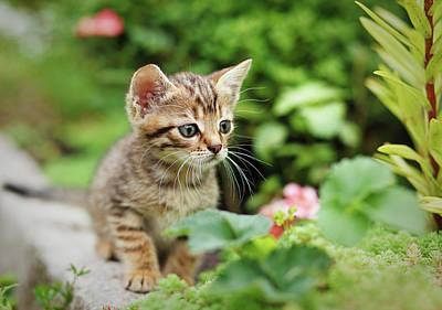 Gray Tabby Photograph - Little Cute Predator by Serhii Kucher
