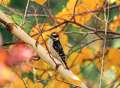 Downy Woodpecker Photograph - Little Downy In Autumn by Donna Kennedy