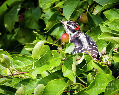 Photograph - Little Downy Woodpecker  by Ricky L Jones