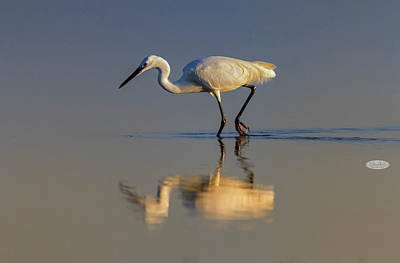Photograph - Little Egret, Egretta Garzetta, Camargue, France by Elenarts - Elena Duvernay photo
