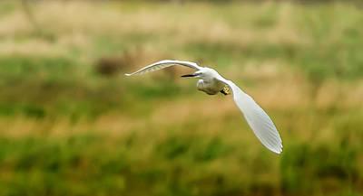 Photograph - Little Egret - Egretta Garzetta by Darren Wilkes