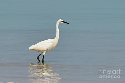 Photograph - Little Egret by Nick  Biemans