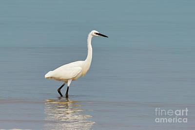 Photograph - Little Egret by Nick  Biemans