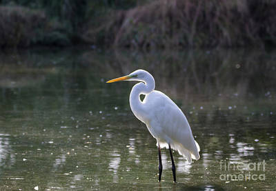 Photograph - Little Egret by Pietro Ebner