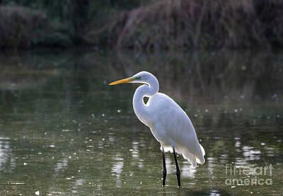 Photograph - Little Egret by Pietro Ebner