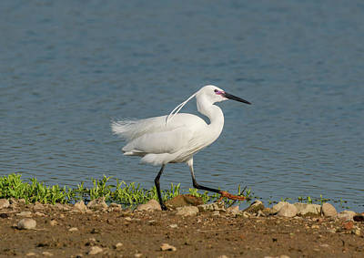 Photograph - Little Egret by Scott Carruthers