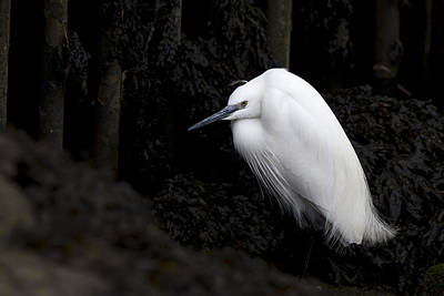 Photograph - Little Egret by Tony Mills