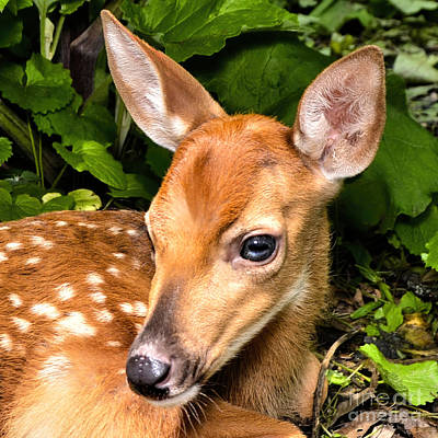 Photograph - Little Fawn by Adam Olsen