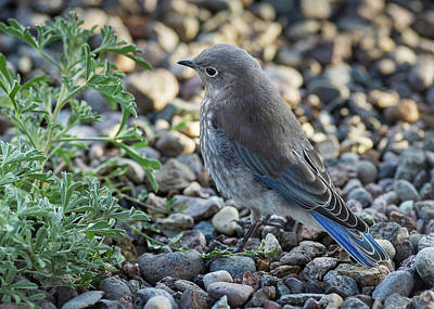 Photograph - Little Fledgling Mountain Bluebird by John Brink