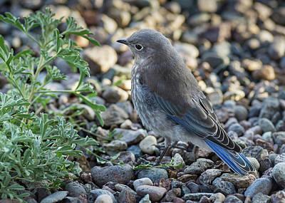 Photograph - Little Fledgling Mountain Bluebird by John Brink