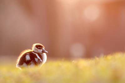 Cute Bird Photograph - Little Furry Animal - Gosling In Warm Light by Roeselien Raimond