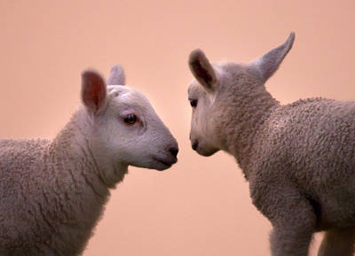 Mammals Royalty-Free and Rights-Managed Images - Little Gossips by Angel Ciesniarska