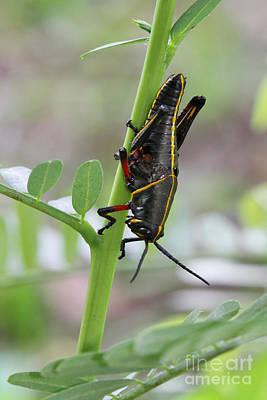 Photograph - Little Grasshopper by Deborah Benoit