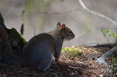 Photograph - Little Gray Squirrel by Maria Urso