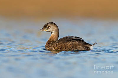 Photograph - Little Grebe by Bryan Keil