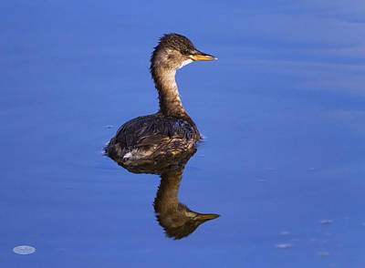 Photograph - Little Grebe, Tachybaptus Ruficollis, With Non-breeding Plumage, by Elenarts - Elena Duvernay photo