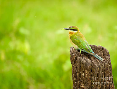 Photograph - Little Green Bee-eater by Venura Herath