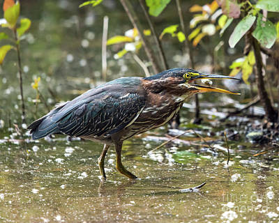 Photograph - Little Green Heron With Fish by Eric Killian