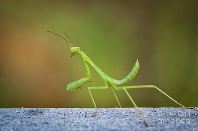 Photograph - Little Green Mantis  by Mitch Shindelbower