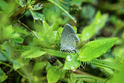 Photograph - Little Grey Half Inch Tall Butterfly by Douglas Barnett