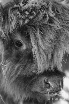 Photograph - Little Highlander by Olga Hamilton