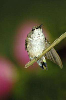 Photograph - Little Humming Bird by Jason Pepe