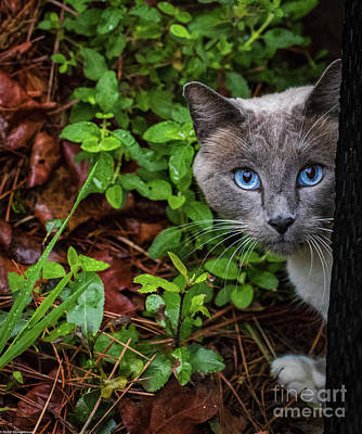 Photograph - Little Kitty Blue Eyes by Mitch Shindelbower