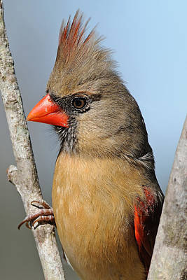 Female Northern Cardinal Photograph - Little Lady Cardinal by Bonnie Barry
