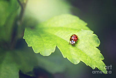 Photograph - Little Ladybug by Sharon McConnell