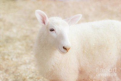 Photograph - Little Lamb by Eleanor Abramson