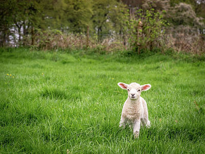 Photograph - Little Lamb by Framing Places