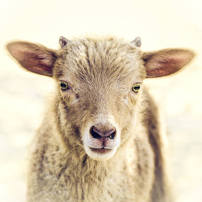 Baby Animal Photograph - Little Lamb by Humboldt Street