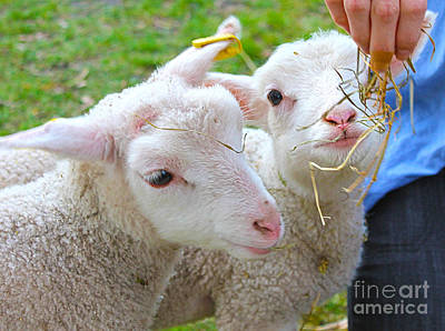 Photograph - Little Lambs Eat Straw Not Ivy by Nina Silver