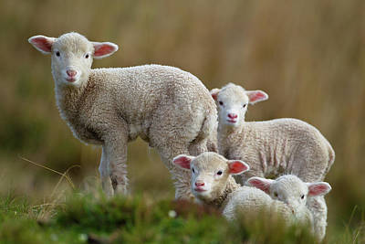 Sheep Photograph - Little Lambs by Ronai Rocha