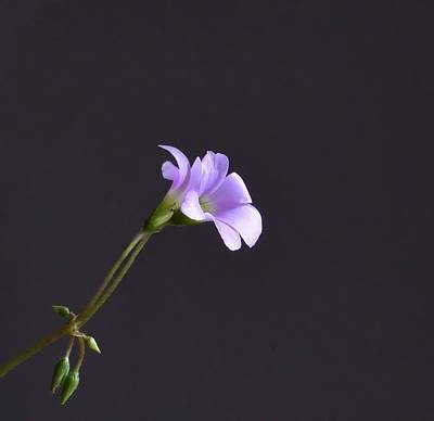 Little Lavender Flowers Art Print