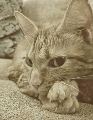 Cat Photograph - Little Lily by JAMART Photography