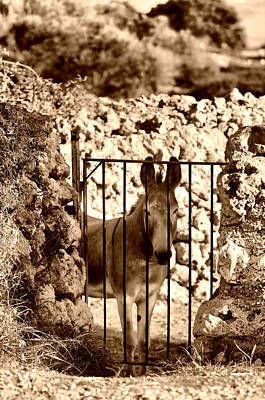 Photograph - Little Mediterranean Donkey In Sephia By Pedro Cardona by Pedro Cardona