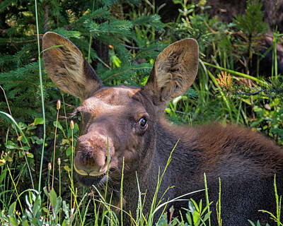 Photograph - Little Moose by Loree Johnson
