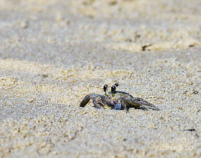 Photograph - Little Nag's Head Crab by Patricia Griffin Brett