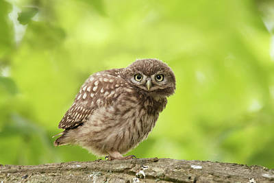 Little Owl Photograph - Little Olw Chick by Roeselien Raimond