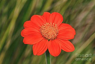 Little Orange Beauty Print by Deborah Benoit