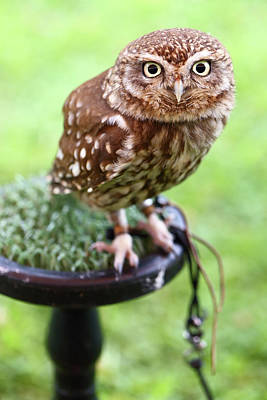 Photograph - Little Owl Athene Noctua by Paul Cowan